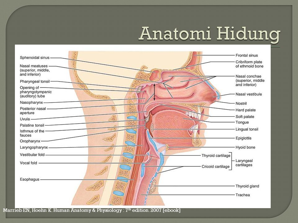 Anatomi Hidung Marrieb EN, Hoehn K. Human Anatomy & Physiology : 7th edition. 2007 [ebook]